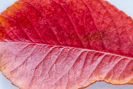 Colorful autumn leaves closeup. Abstract  background. 版權商用圖片