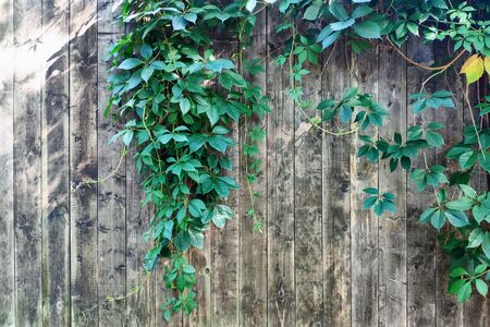 Natural green leaf frame on wooden fence. Background.  Empty space for your text. Banco de Imagens