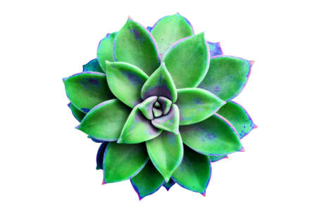 Beautiful green succulent. Sempervivum. Isolated on white.