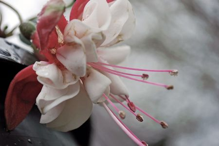 Pink and white Fischia flower taken on a rainy day.  Soft, mellow colors and tones give it a vintage feel.