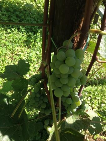 Croatian vineyard outside Zagreb