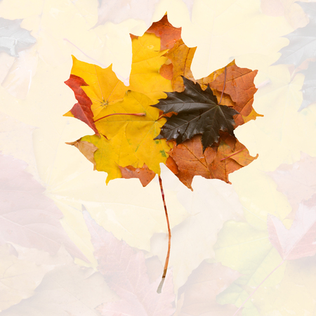 Maple leaf with autumn leaves on the background. Autumn weather and mood. Double exposure, creative processing. Stock Photo