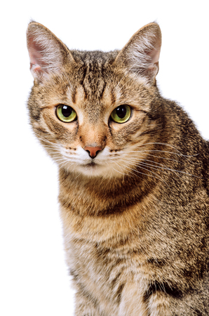 Tabby home adult cat Isolated. Pet, animal