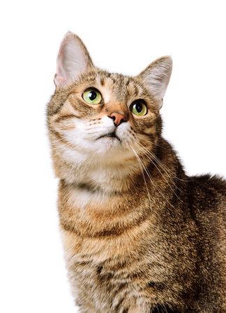 Tabby home adult cat looks up Isolated. Pet, animal Stock fotó
