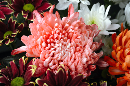 A bouquet of chrysanthemum flowers large and small coral, white and red. Floral background.