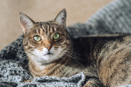 Tabby cat lies on a gray knitted blanket in the sun. A pet Stock fotó