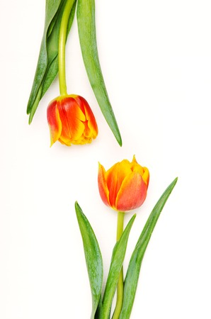 Two tulips on a white background. Spring floral background. Top view, flat lay.