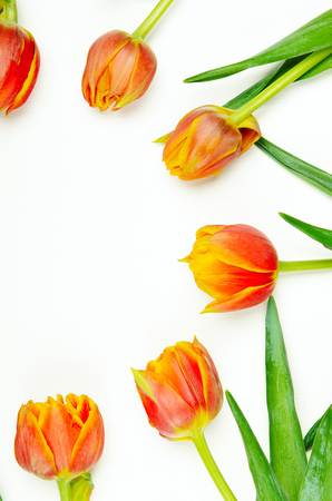 Round frame of red-orange tulips on a white background. Spring floral background. Copy space, top view, flat lay