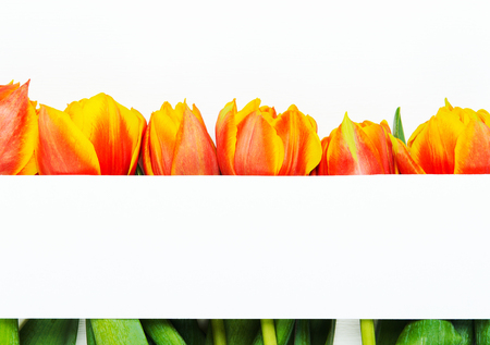 Card for inscription, congratulations, white against the background of orange red tulips. Spring floral background. Copy space, top view, flat lay Stock fotó - 126127457