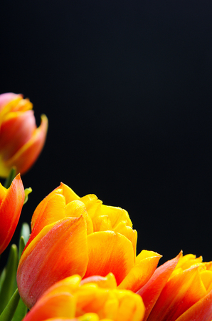 Red-orange tulips with water drops on a black background. Floral background. Postcard, copy space.