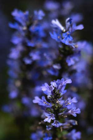 Beautiful abstract flowering Ajuga plant close-up.