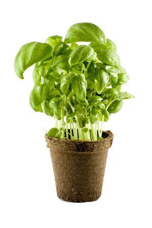 Fresh basil plant isolated on white background Stock Photo