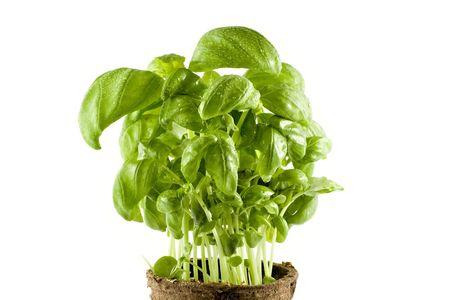 Close-up fresh basil plant isolated on white background photo