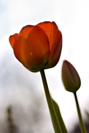 Two red tulips with shallow depth of field