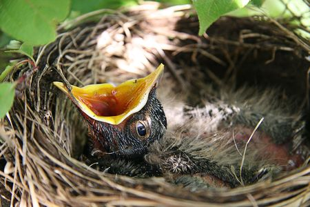 Baby Robin in birds nest with mouth open Stock Photo