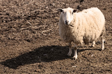 naivety: Mother Sheep in spring in newfoundland Stock Photo