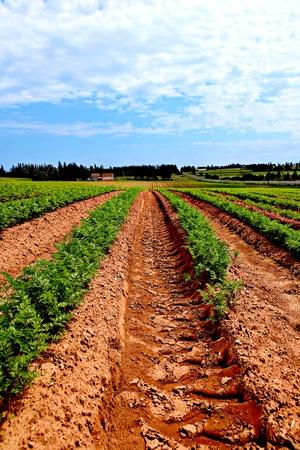 Líneas de verduras en un campo agrícola en PEI, Canadá Foto de archivo - 8991200
