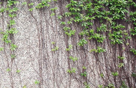 Vines growing on a rock wall - Abstract grunge Standard-Bild