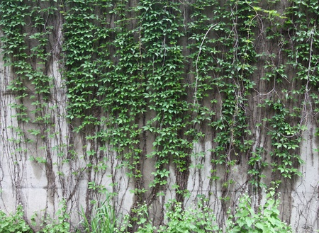 Vines growing on a rock wall - Abstract grunge photo