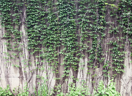 Vines growing on a rock wall - Abstract grunge Stock Photo - 9761632