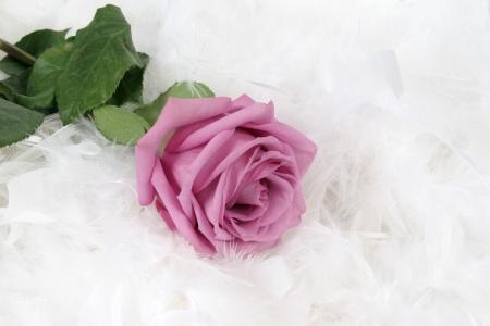 taken: Pink rose with white background, taken closeup