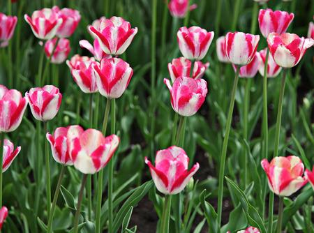 coloful: Beautiful spring tulip flowers in coloful garden