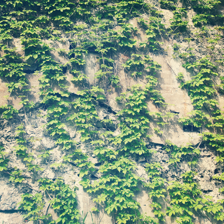 invade: Vines growing along wall with vintage effect