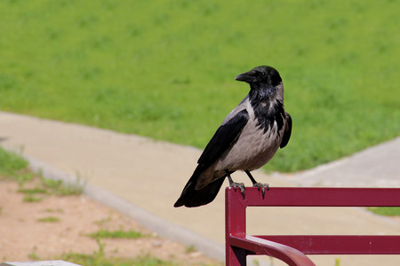 hooded: Hooded crow sitting at the bench
