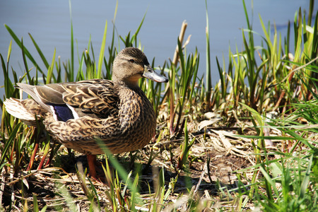 Wild duck female at the bank of the riverr photo