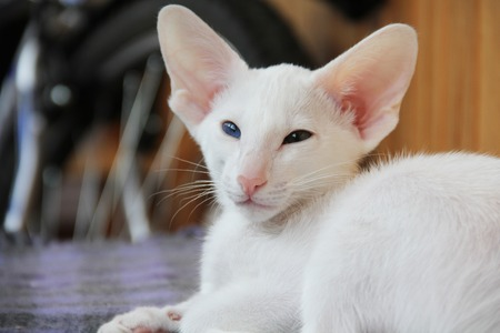 oriental white cat: White oriental cat with eyes of different colors