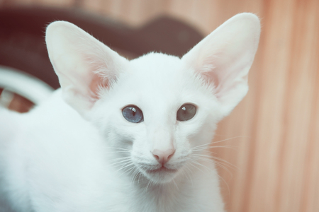 cat eye: White oriental cat with eyes of different colors