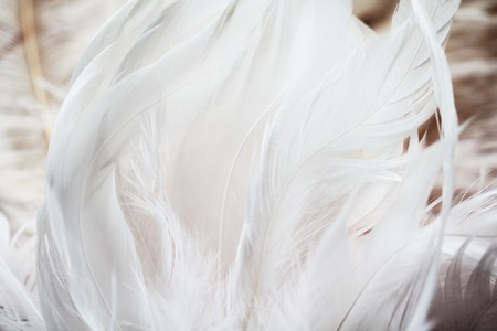 close   up: White feathers background