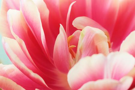 Beautiful close up macro photo of tulip
