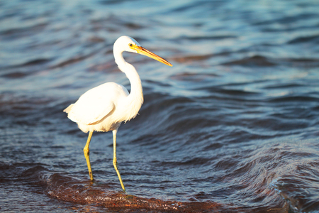 egrets: White egret a the sea shore watching for food Stock Photo