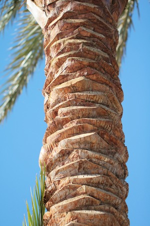 up to date: Date palm trunk close up beautiful  photo Stock Photo