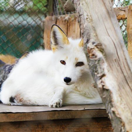 White arctic fox animal portrait zoo photo Stock Photo