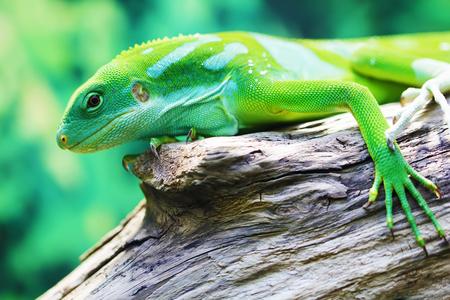 Lizard looking close up animal portrait photo
