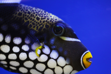 triggerfish: Exotic fish of balck, white, yellow colors close up under water photo Stock Photo