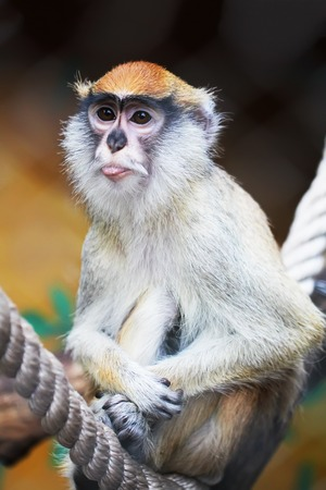 hussar: Hussar monkey showing tongue animal portrait close up zoo photo