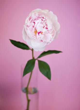Peony pink flower close up beautiful macro photo