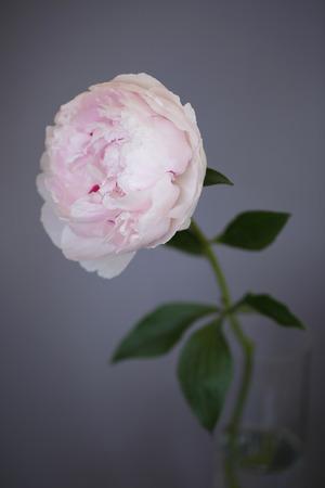 Peony pink flower close up on grey background photo