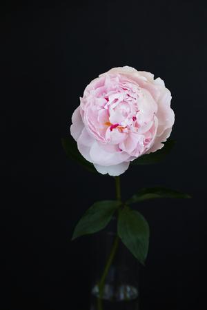 Peony pink flower close up on black background photo