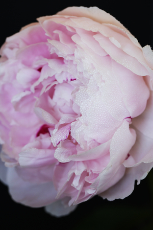 Peony pink flower close up on black background photo Stock Photo - 119230033