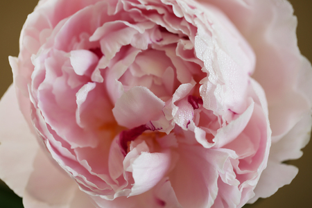 Peony pink flower close up macro background photo Stock Photo