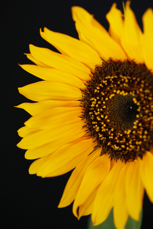 Beautiful sunflower close up macro photo on black background