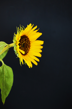 Beautiful sunflower close up macro photo on colored background Stock Photo - 119230073