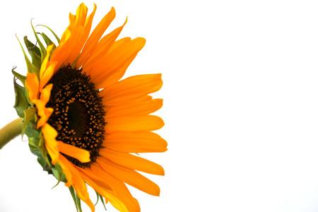 Beautiful sunflower close up macro photo on colored background Stock Photo