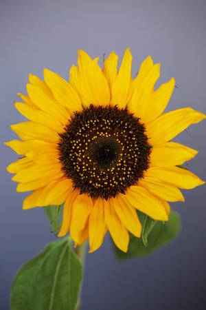 Beautiful sunflower close up macro photo on colored background Stock Photo - 119230076