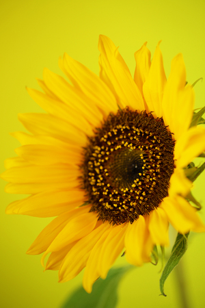 Beautiful sunflower close up macro photo on colored background Stock Photo - 119230131
