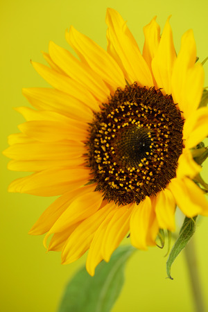 Beautiful sunflower close up macro photo on colored background Stock Photo - 119230133